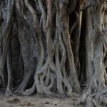 ガジュマルの挿し木の植え替え方法やコツとは?